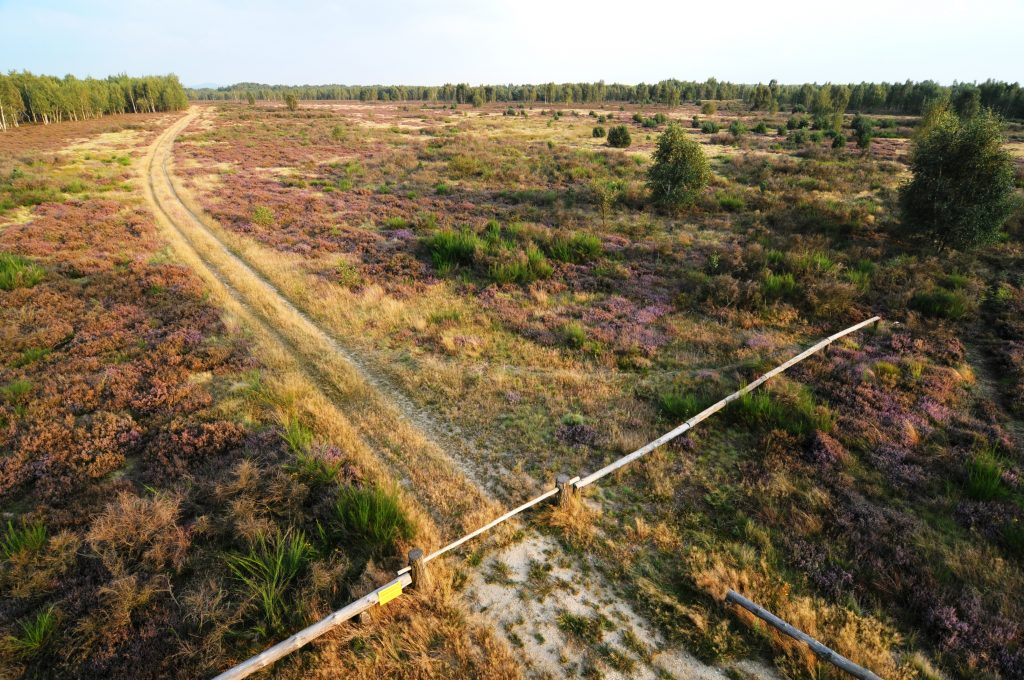 Lila-blühende Heide